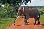 Asian elephant bull with big tusks walking across a dirt track, Yala National Park, Sri Lanka