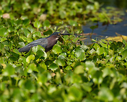 A Green Heron stalking his prey, Lake Apopka Wildlife Drive, Florida. Image taken by Ed Aldridge with a NIKON Z 6_2 and 500mm f/4D at 500mm, ISO 1600, f4.5, 1/8000.