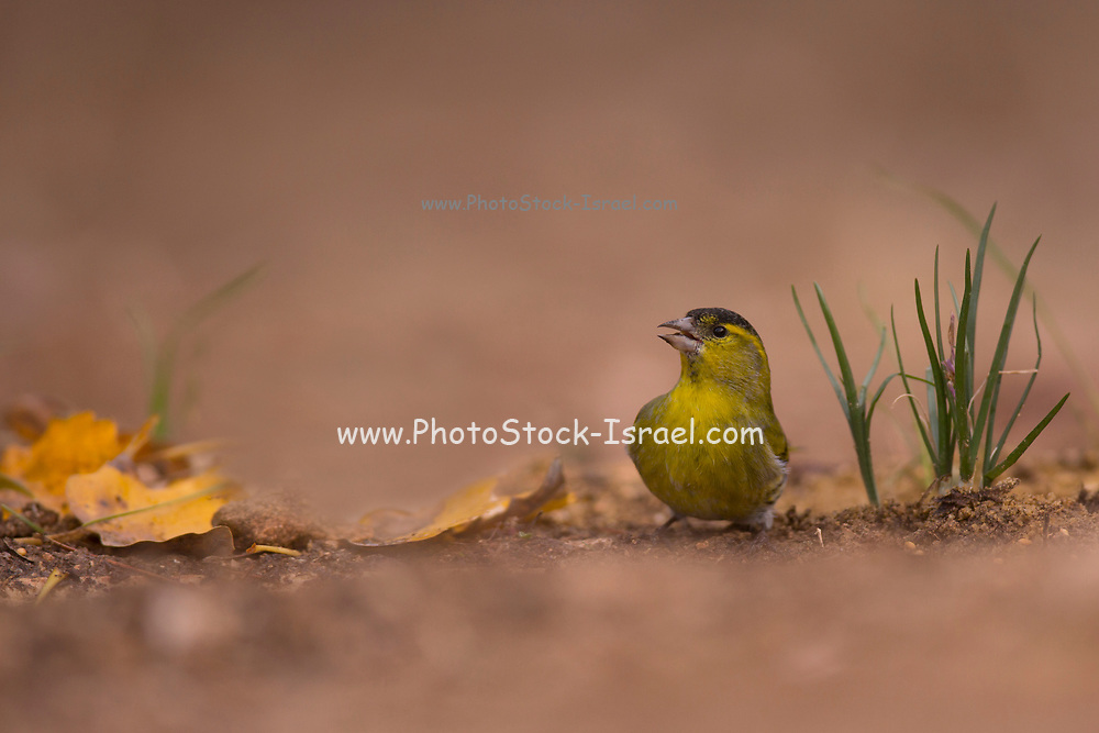 Male Eurasian siskin (Spinus spinus) on the ground Photographed at the Ein Afek nature reserve, Israel in November