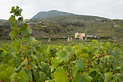 Zibbibo vines (Moscato di Alessandria) seem beneath the Donnafugata winery on Pantelleria Island off Sicily, Italy.