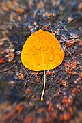 Fall aspen leaf detail, Inyo National Forest, Sierra Nevada Mountains, California USA