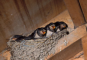 Young Swallows in nest, Hirundo rustica.