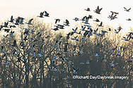 00754-02703 Snow Geese (Anser caerulescens) flying from wetland at sunrise Marion Co. IL