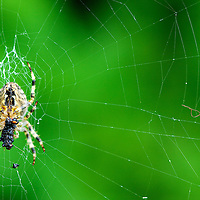 A hapless insect, bound & slimed meets an ignoble final end as a meal for a hungry spider.