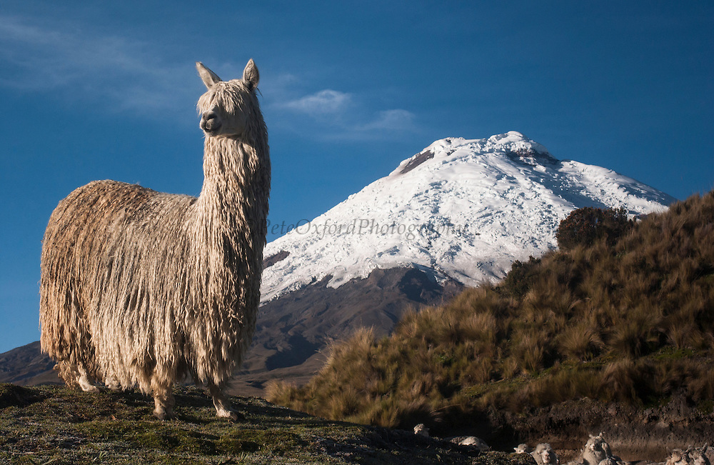 Cotopaxi Volcano (5897 meters) & Alpaca Suri (Long haired breed of Alpaca)<br /> Lama pacos<br /> Highest active volcano in the world<br /> Surrounded by Paramo Habitat in Cotopaxi National Park<br /> Andes<br /> ECUADOR.  South America