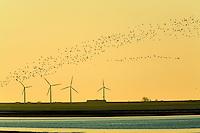 21.04.2009<br /> Birds against windpower stations<br /> Hallig Hooge, Germany