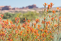 Also known as the desert Indian paintbrush, linearleaf Indian paintbrush,  narrow-leaved Indian paintbrush, and Wyoming desert paintbrush, this is one of the tallest of North America's Castilleja species, reaching upward to four feet and sometimes growing in such density that they can appear more like a shrub than the typical, low-growing singular forb wildflower one would expect to see among Indian paintbrushes. These unusually orange (they are usually red) beauties were found blooming in profusion in Utah's Arches National Park.