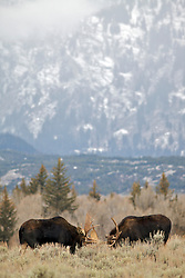 Fighting Bull Moose, Grand Teton National Park.  Always a pleasant surprise to find a surprise at the bottom of the magnificent Grand Tetons.