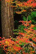 Ferns and maples on the east side of Mount Rainier, Washington