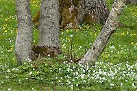 Puhtu, anemone, Matsalu Bay Nature Reserve, Estonia