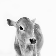 A four light high key set up against a white backdrop of ranch animals of the west. A continued project from PBB.