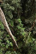 Primary Rain Forest<br /> Iwokrama Reserve<br /> GUYANA. South America