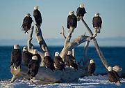 Alaska. Bald Eagles (Haliaeetus leucocephalus) on Homer Beach, Kachemak Bay.