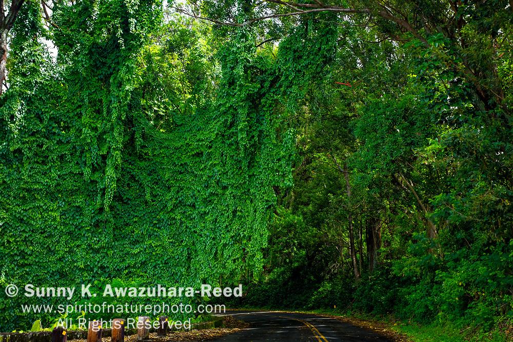 Vine covered rainforest along along Tantalus Drive, Oahu Island, Hawaii.