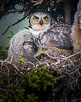 A great horned owl takes care of its young in a nest near the Teklanika river in Denali National Park in Alaska in 2008.