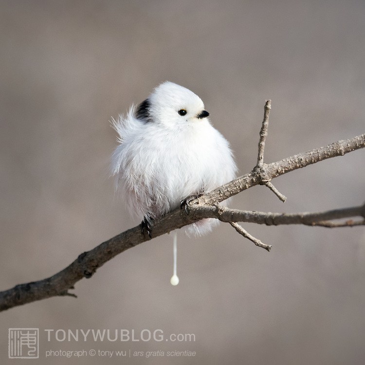 This is a defecating long-tailed tit (Aegithalos caudatus). This species is small in size, measuring up to 15cm in length, approximately half of which is the bird's long, narrow tail.