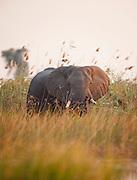 African elephants stride through the marshland of the Okavango Delta, Botswana