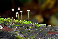 Small mycena mushrooms on a mossy log in Campbell Valley Park, Langley, British Columbia