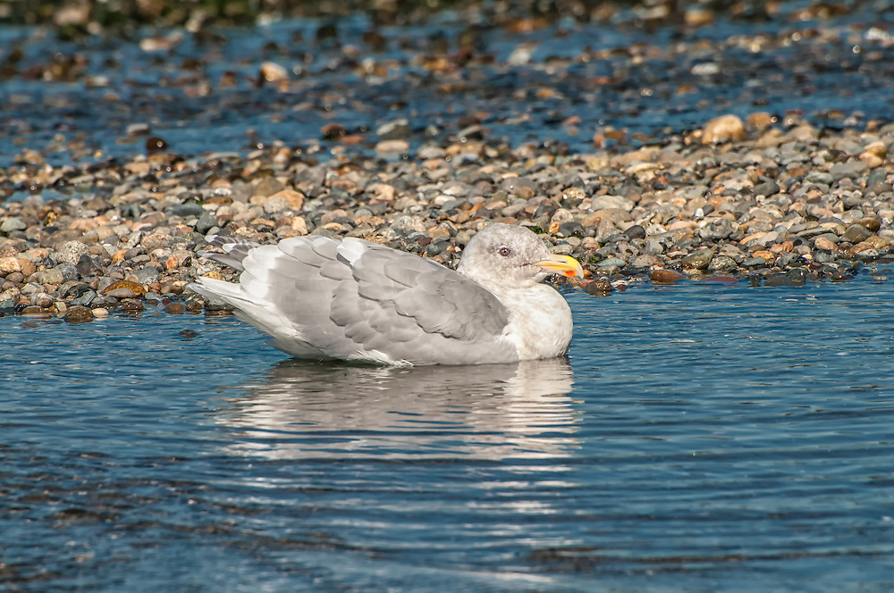 This (possibly hybrid) glaucous-winged gull was seen on the shore of the Puget Sound as it bathes and splashed in a shallow pool. This noisy large gull has a large bill with a bright red spot - characteristics helpful in distinguishing it from other similar-looking gulls.