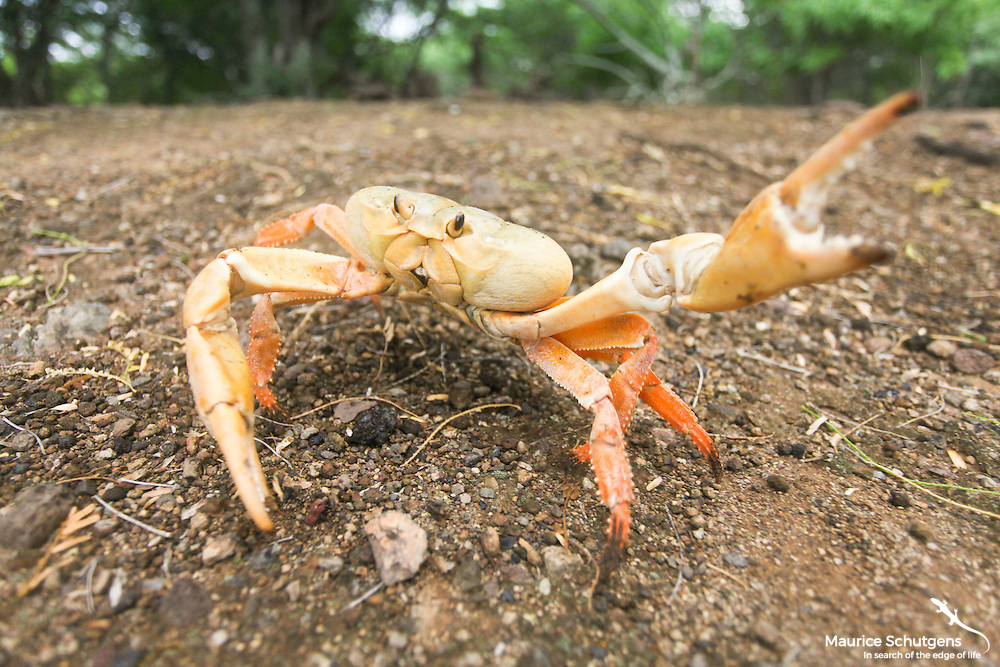 Ascension Island land crab picking a fight on Ascension Island, South Atlantic.