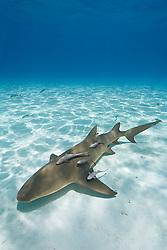 Lemon Shark, Negaprion brevirostris, with sharksuckers, Echeneis naucrates, West End, Grand Bahama, Bahamas, Atlantic Ocean.