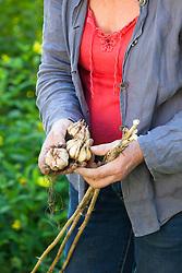 Carol Klein harvesting garlic