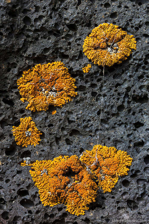 Orange crustose lichen grows on the volcanic rock near Lake Mývatn in northern Iceland. Lichens are a symbiosis of a fungus and a green alga and/or cyanobacterium; and crustose is the most common type of lichen in Iceland; accounting for about 400 of the 700 identified species. Crustose are very slow growing; typically growing 1 millimeter or less per year.