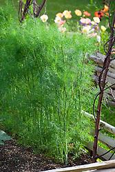 Fennel. Foeniculum vulgare