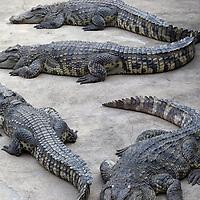 Samphran Crocodile Farm.