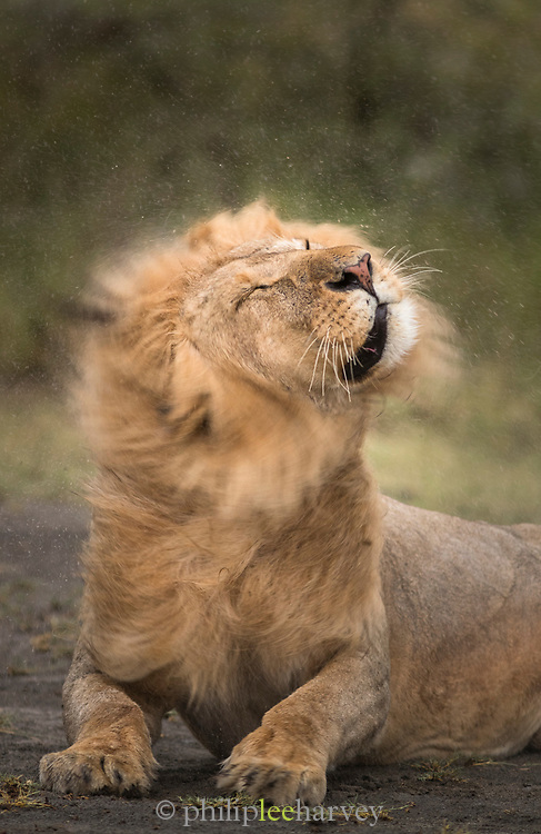 Nature photograph of a single adult male lion (Panthera leo) shaking the rain off his head while lying on the ground, Ngorongoro Conservation Area, Tanzania