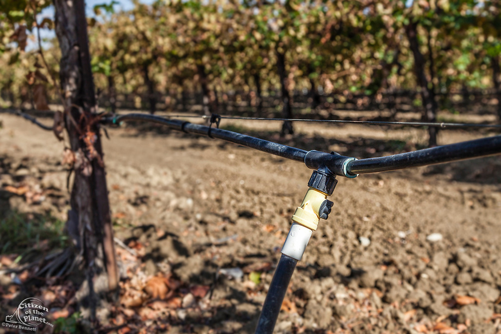 Drip irrigation being used in vineyard. Rod Cardella runs Cardella Winery, a family business since 1969, which grows almonds, broccoli and other crops as well as grapes. With the high price of water in recent years, Rod has turned to technology and drip irrigation to lower water usage and like many other farmers is planting high value crops such as almonds. Fresno County, San Joaquin Valley, California, USA