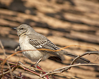 Northern Mockingbird on a vine. Image taken with a Nikon D2xs camera and 80-400 mm VR lens (ISO 200, 400 mm, f/7.1, 1/500 sec).