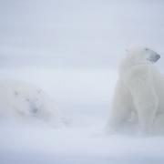 Polar Bear (Ursus maritimus) on frozen Hudson Bay in blowing snow. Churchill, Manitoba, Canada