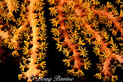 deep water sea fan, Iciligorgia schrammi, rare orange variety, Dominica ( Eastern Caribbean Sea )