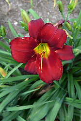 scarlet red colored lily (Lilium) bloom