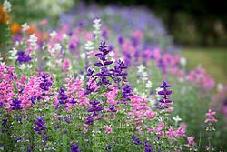 Salvia viridis - Blue Clary, Clary sage