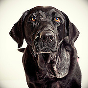 This black labrador retriever is in foster care. Good pet photography helps shelter dogs get adopted.