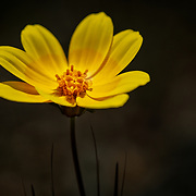 Wild ye flower in Solvang, California with dramatic lighting.