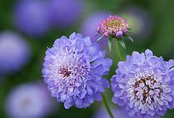 Scabiosa atropurpurea 'Oxford Blue'. Scabious