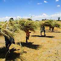 Women carrying heaps of fresh grass on their backs. The women use the grass to thatch their house roofs, to help weather extreme seasons of sun and rainfall.<br /> The grass also helps to keep their houses cool when there is extreme sunlight.