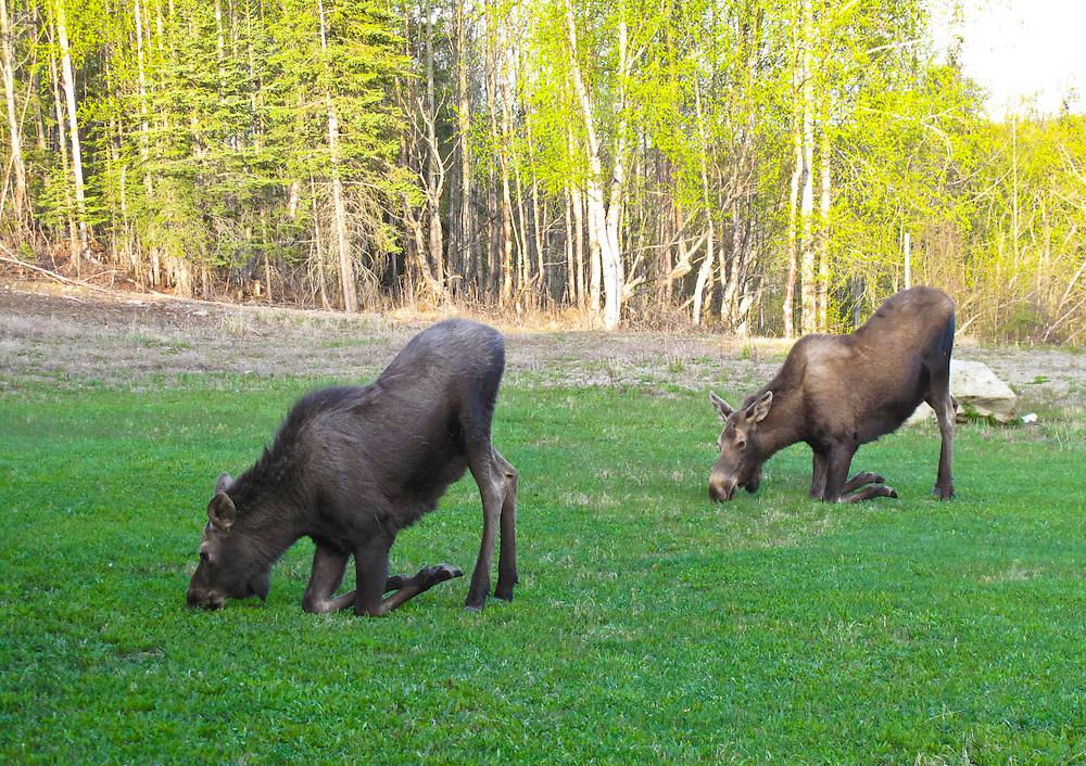 Alaska.  A cow moose and calf, adopt a unique kneeling down position like she is praying  while eating some grass in summer.