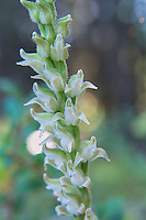 The flowers of the western rattlesnake plantain orchid are quite nondescript for an orchid, but up close they are quite beautiful. Unlike other Goodyera orchid species that all look somewhat similar to each other, Goodyera oblongifolia's flowers all tend to face the same direction on the flowering stalk, which appears about mid to late summer, depending on the longitude, altitude and local climate. Each tiny flower is hermaphroditic, meaning they have both female and male parts and most often pollinated by bumble bees. These were found and photographed in Glacier National Park in Northern Montana.