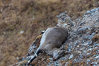 Snow leopard, Panthera uncia, 雪豹属, resting beside its freshly killed prey, a blue sheep also called bharal, to recover from the hunt and pulling up its prey the mountains in Serxu, Garze Prefecture, Sichuan Province, China
