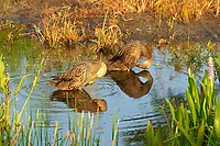 Pair of Mottled Duck Wakodahatchee Wetlands Florida USA