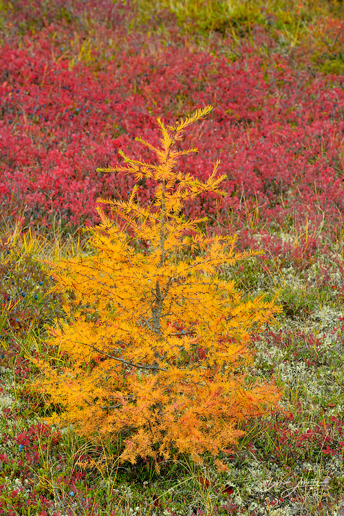 Arctic blueberry and larch seedling in autumn colour, Arctic Haven Lodge, Nunavut, Canada