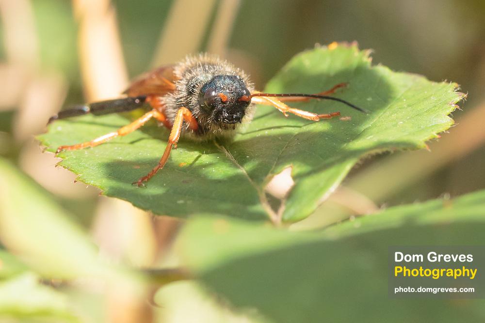 Sirex juvencus male woodwasp. Approx 25mm. Dorset, UK.