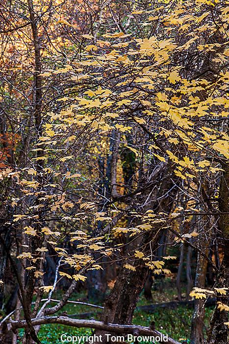 Autumn color in the forest on the Mogollon rim