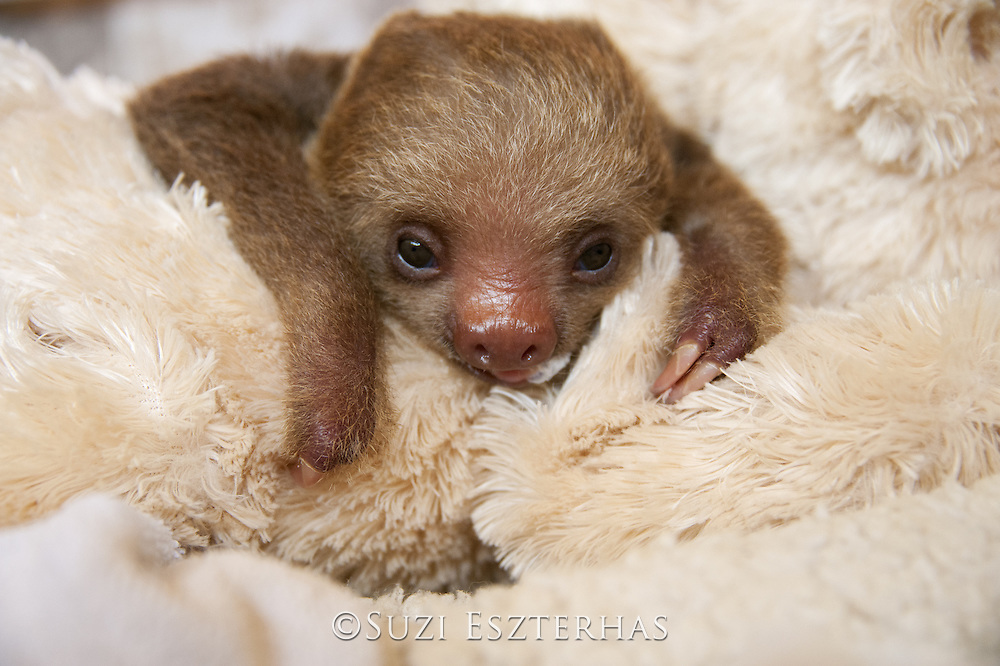 Hoffmann's Two-toed Sloth <br /> Choloepus hoffmanni<br /> Orphaned baby <br /> Aviarios Sloth Sanctuary, Costa Rica<br /> *Rescued and in rehabilitation program