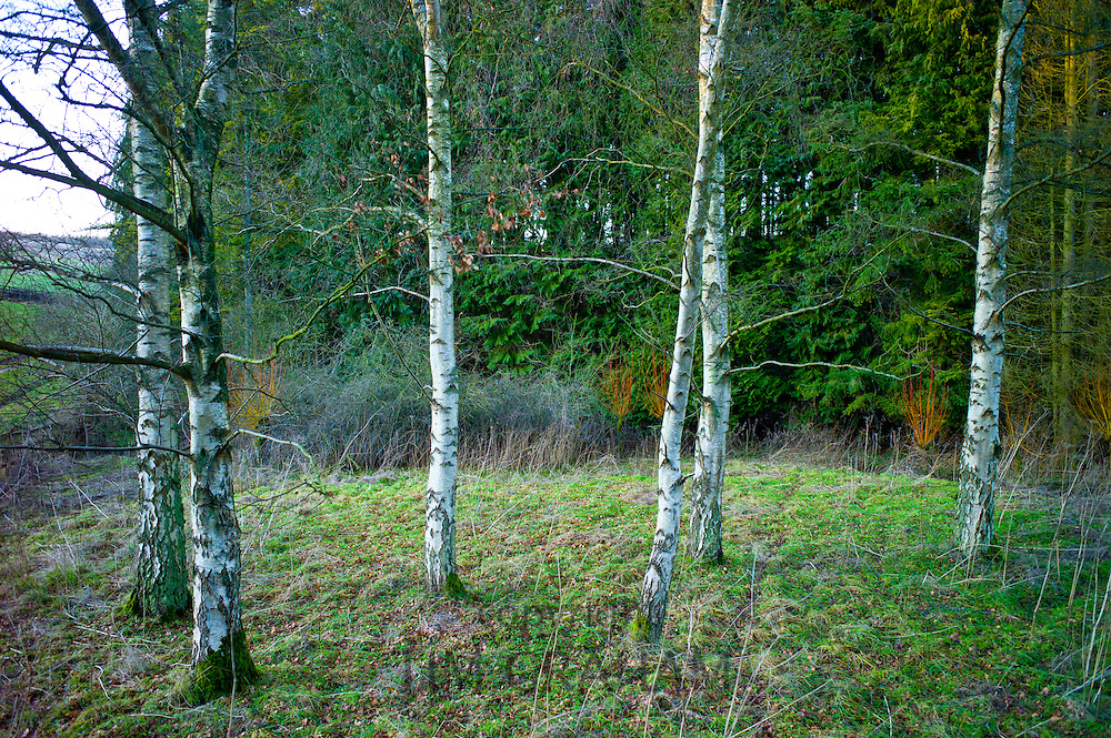 Silver birch trees in winter in The Cotswolds, Oxfordshire, UK