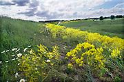 Nederland, Ooijpolder, 19-5-2020 Aan de dijk groeien mooie veldbloemen zoals boterbloemen en distels in deze lente . Foto: Flip Franssen